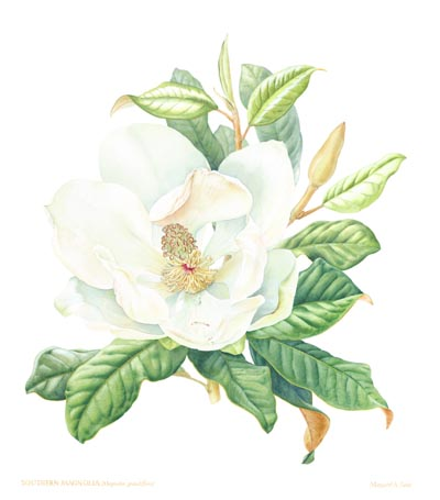 MagnoliaCopy